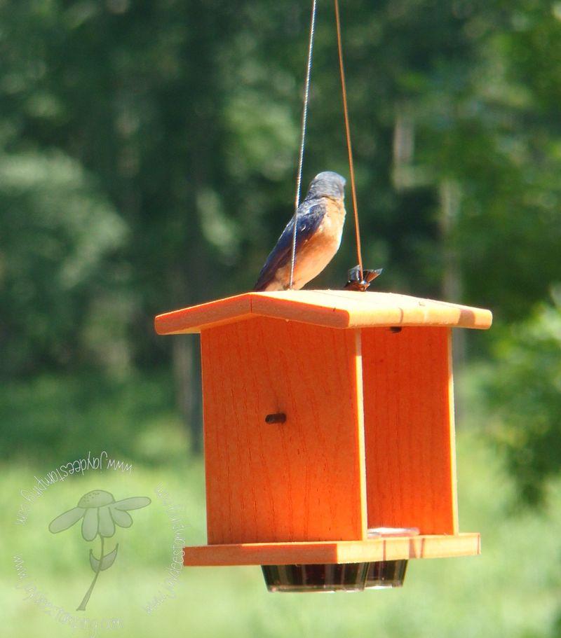Bluebird (4)