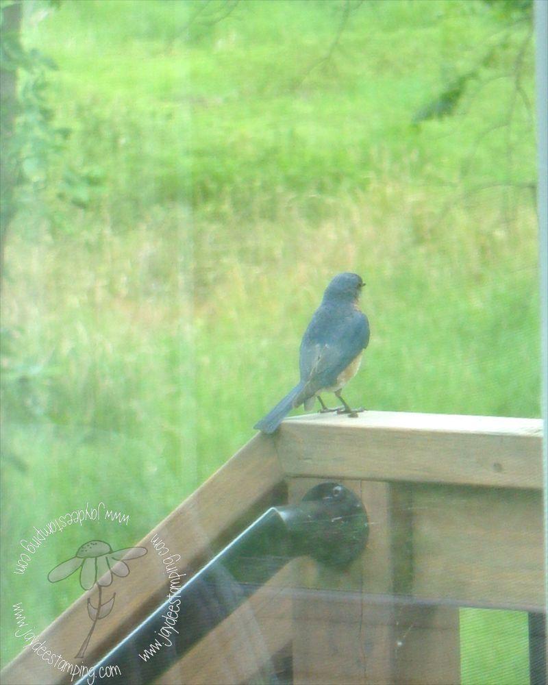 Bluebird (1)