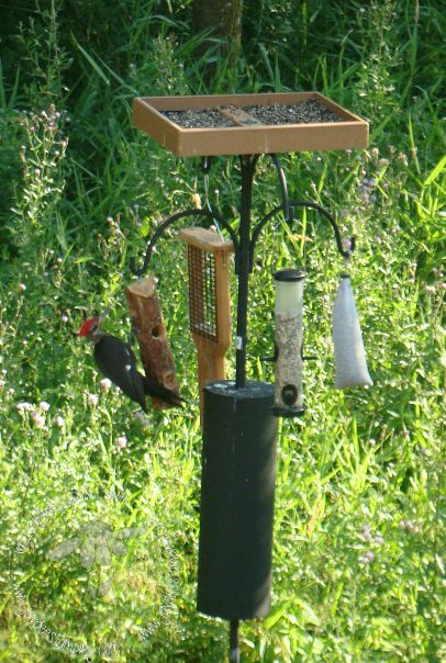 Pileated (3)