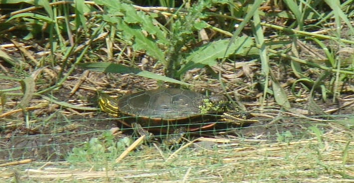 Painted turtle (1)