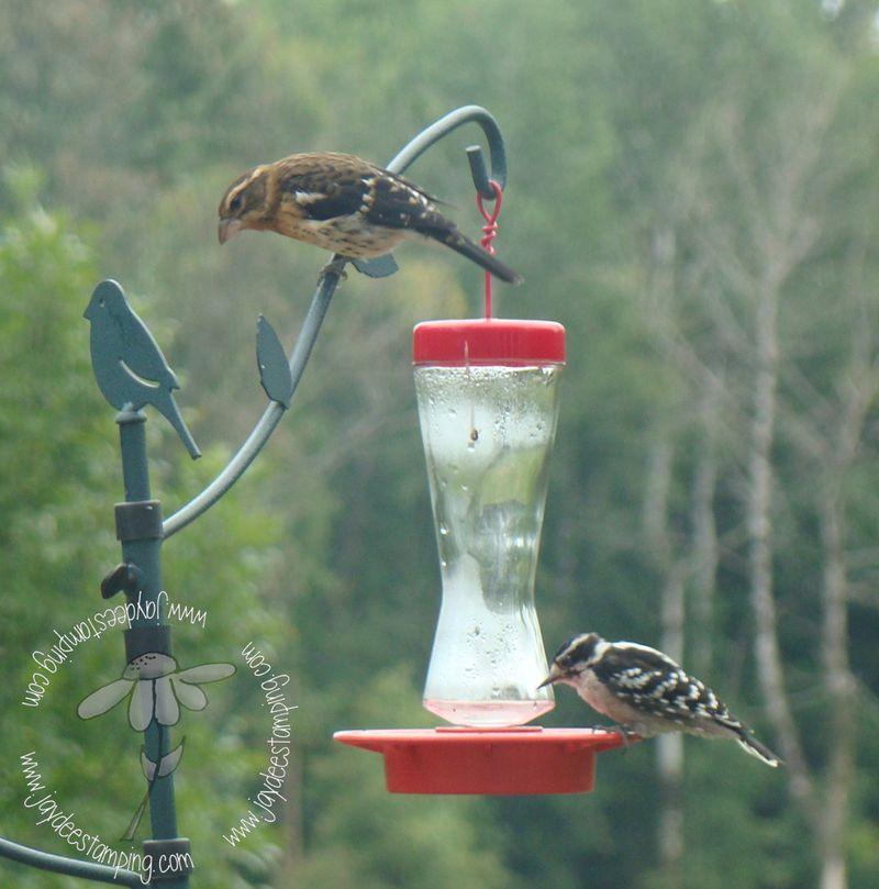 Grossbeaksugarpecker