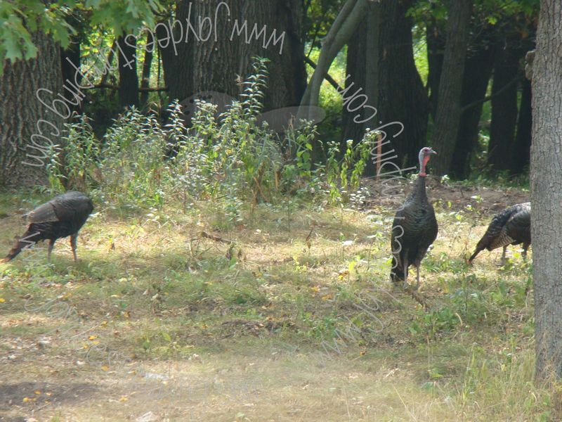 Turkeys (1)