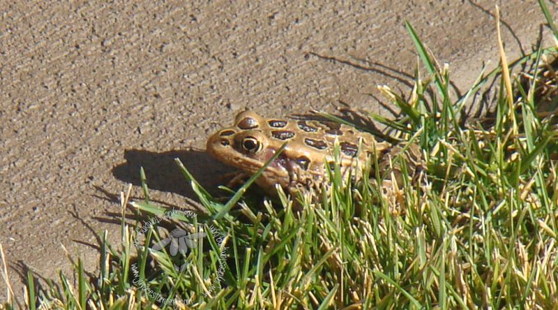 Spotted frog  090