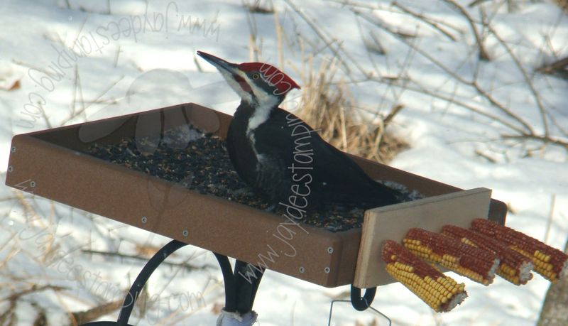 Pileated (4)