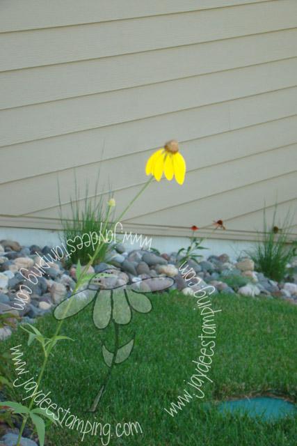 Greyhead echinacea (1 of 1)