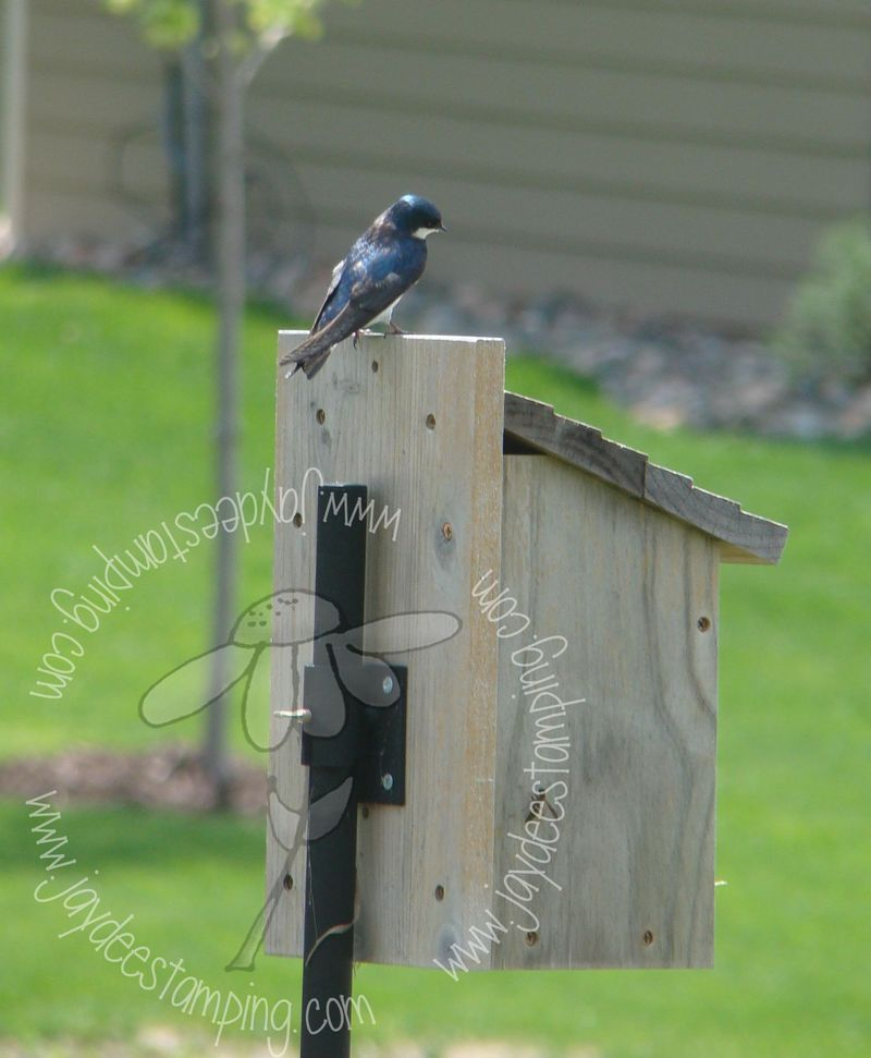 Tree swallow-2