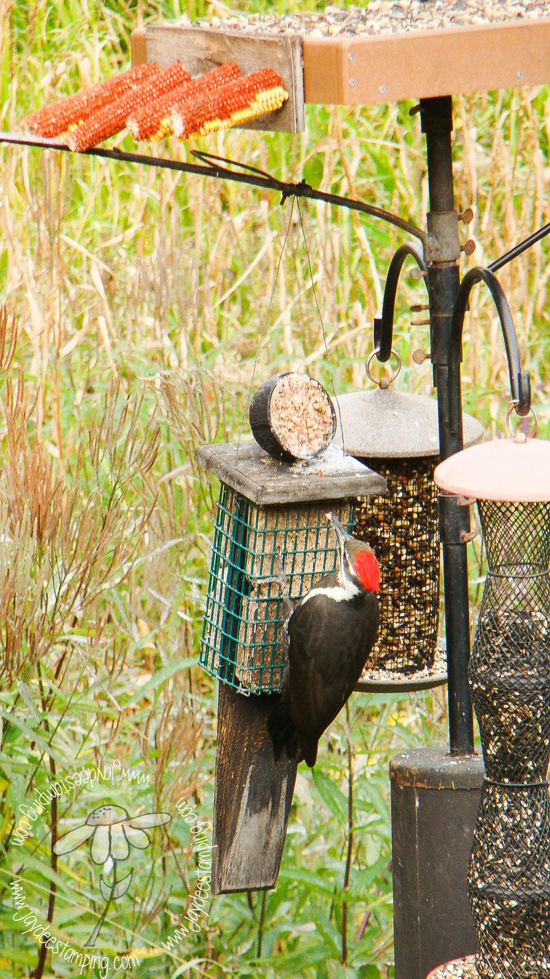 Pileated feeder (1 of 1)