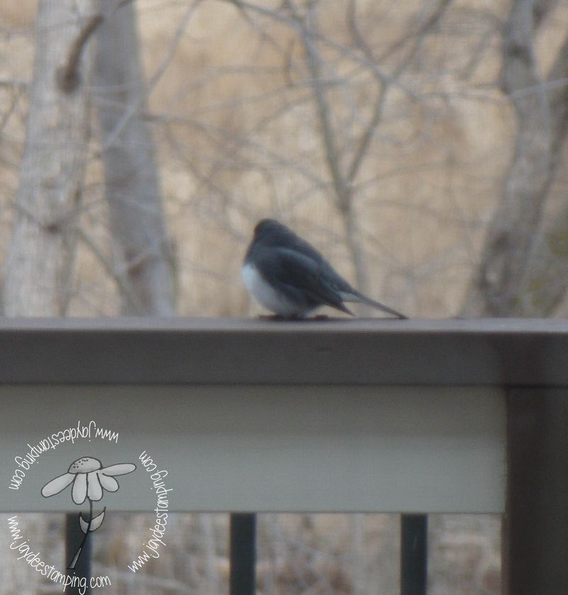 Junco (1 of 1)