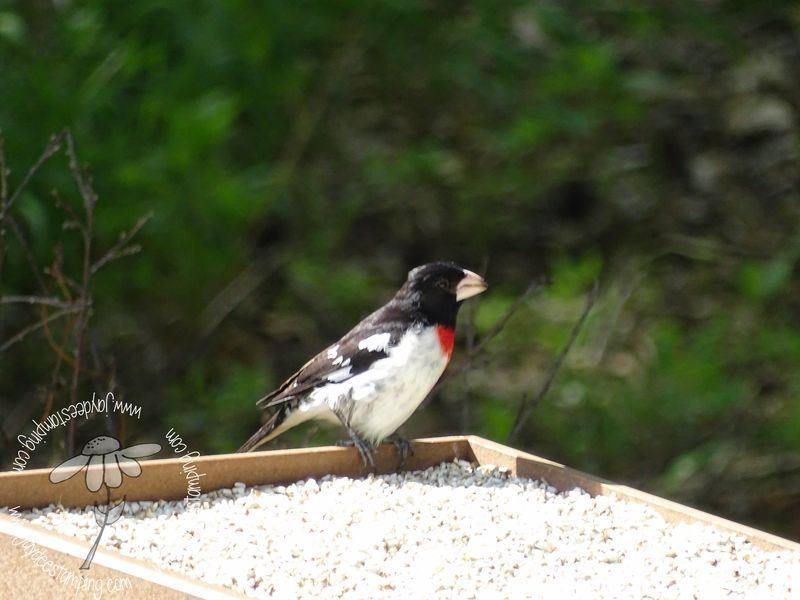 Grosbeak (1 of 1)