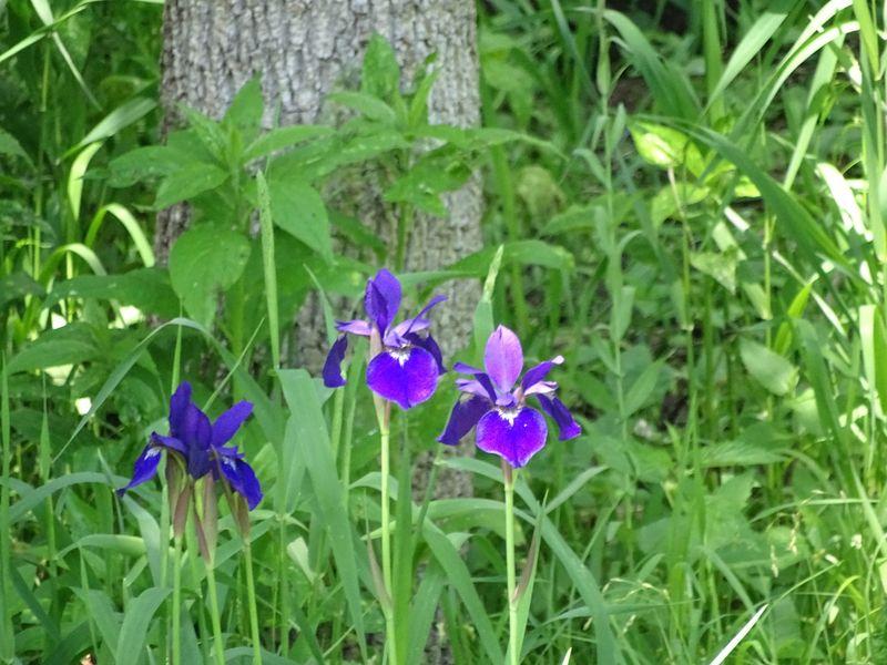 Irises (1 of 1)