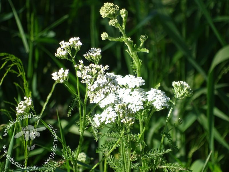 Queen anne's lace (1 of 1)