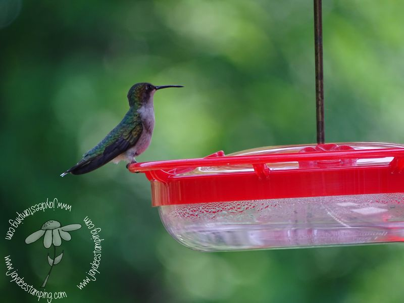 Hummer at the feeder (1 of 1)-2