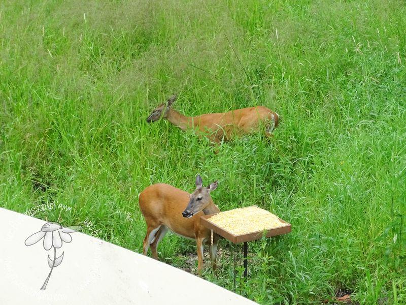 Deer feeder (1 of 1)