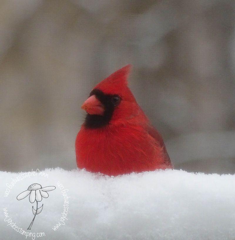 Cardinal (1 of 1)-3