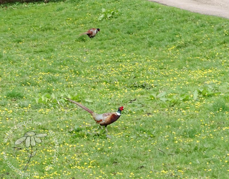Pheasant (1 of 1)
