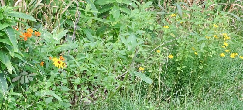 Milkweed coreopsis (1 of 1)-2