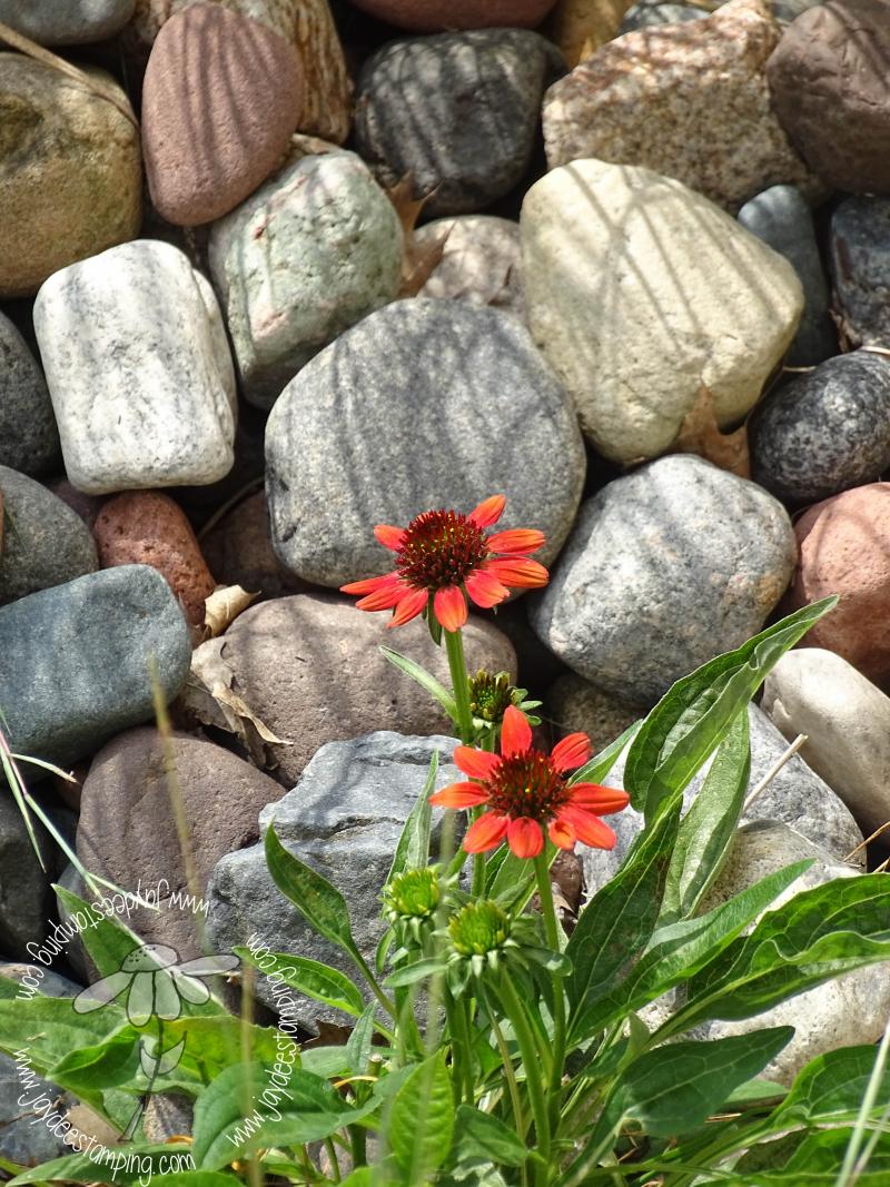 Echinacea (1 of 1)-2