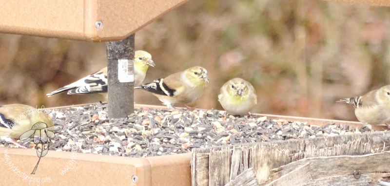 Goldfinch (1 of 1)