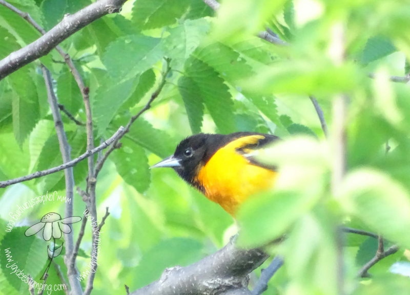 Oriole (1 of 1)-3
