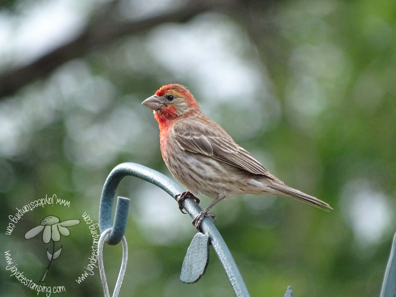 Housefinch (1 of 1)-2