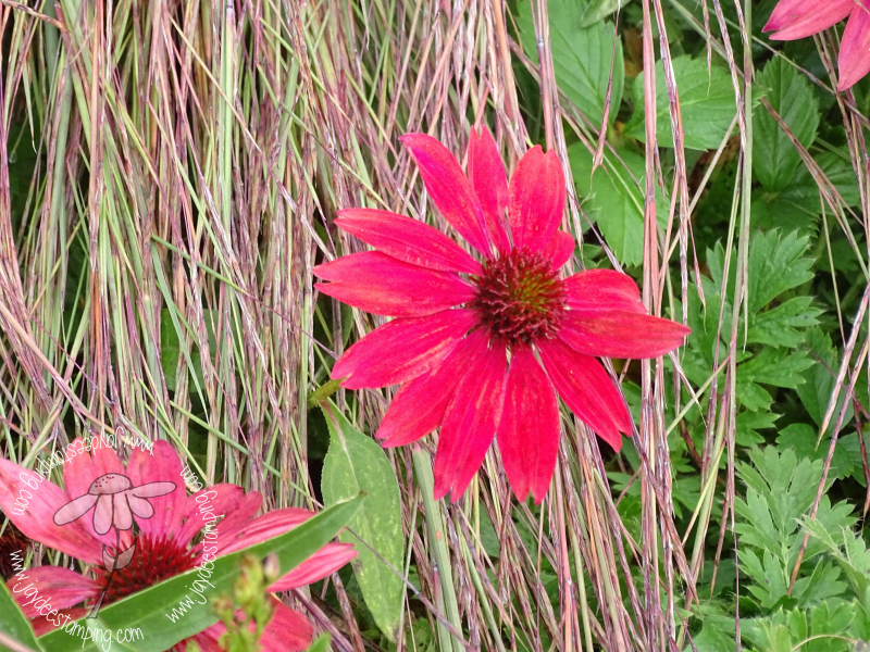 Echinacea with Little Bluestem (1 of 1)