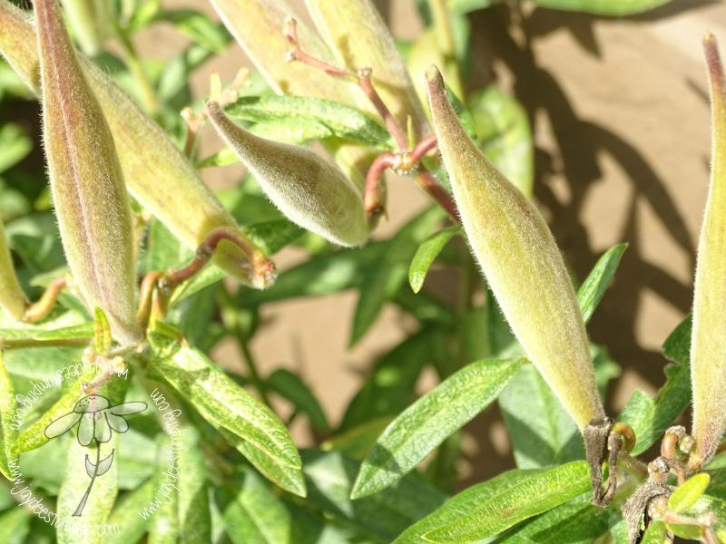 Milkweed Seedpod (1 of 1)