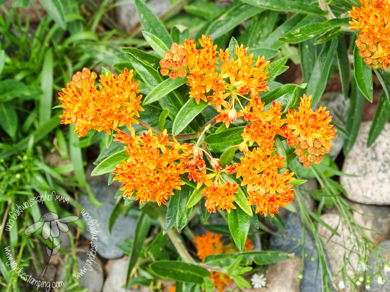 Milkweed (1 of 1)