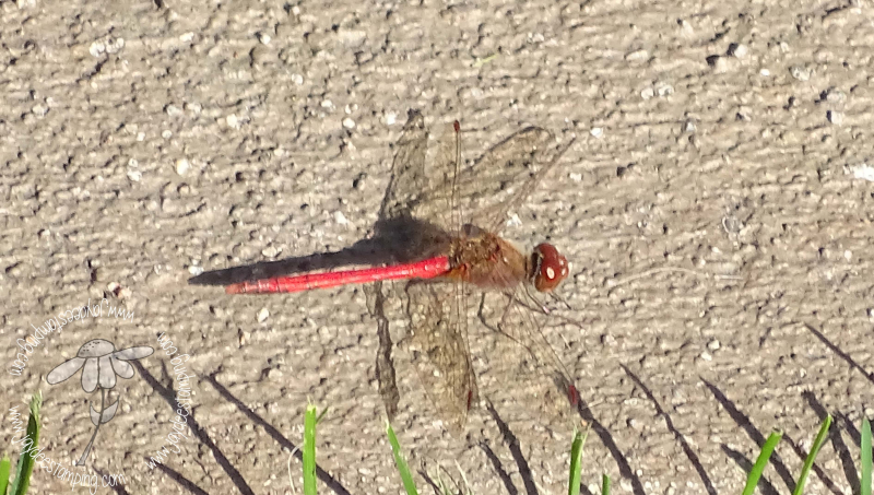 Dragonfly (1 of 1)