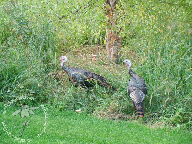 Turkeys (1 of 1)-2