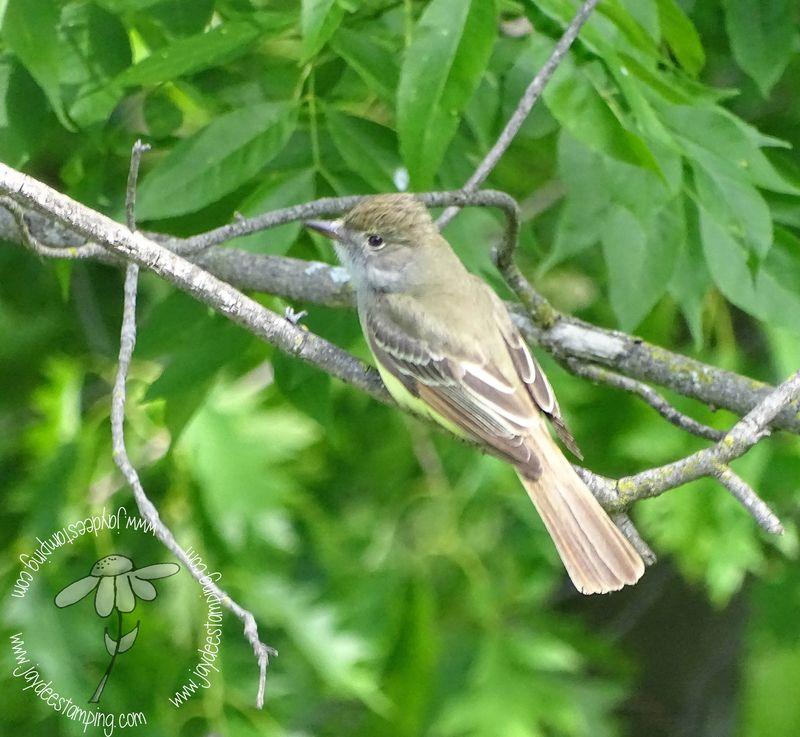 Flycatcher (1 of 1)