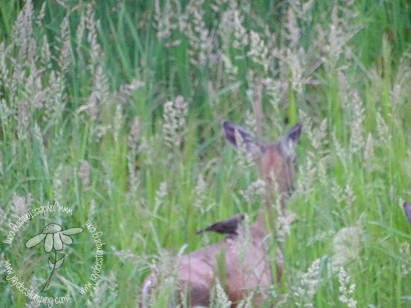 Cowbird deer (1 of 1)