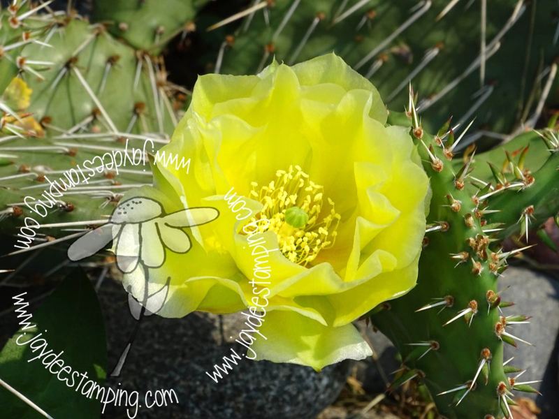 Fragile prickly pear (1 of 1)