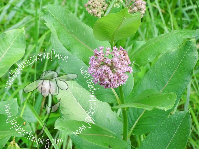 Swamp milkweed (1 of 1)-2