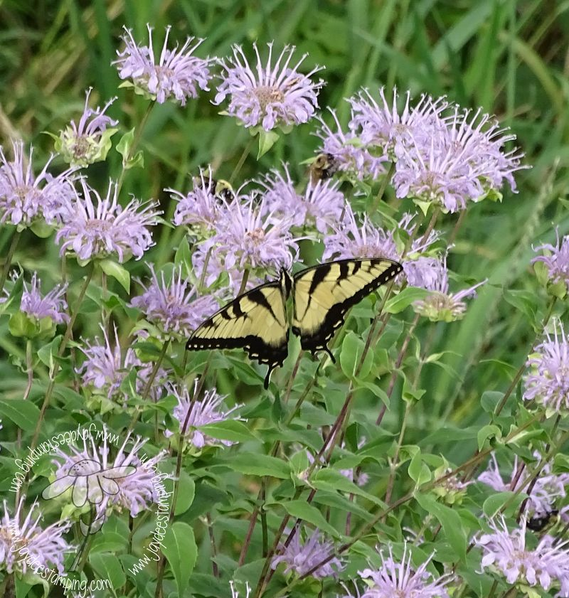 Eastern tiger swallowtail (1 of 1)