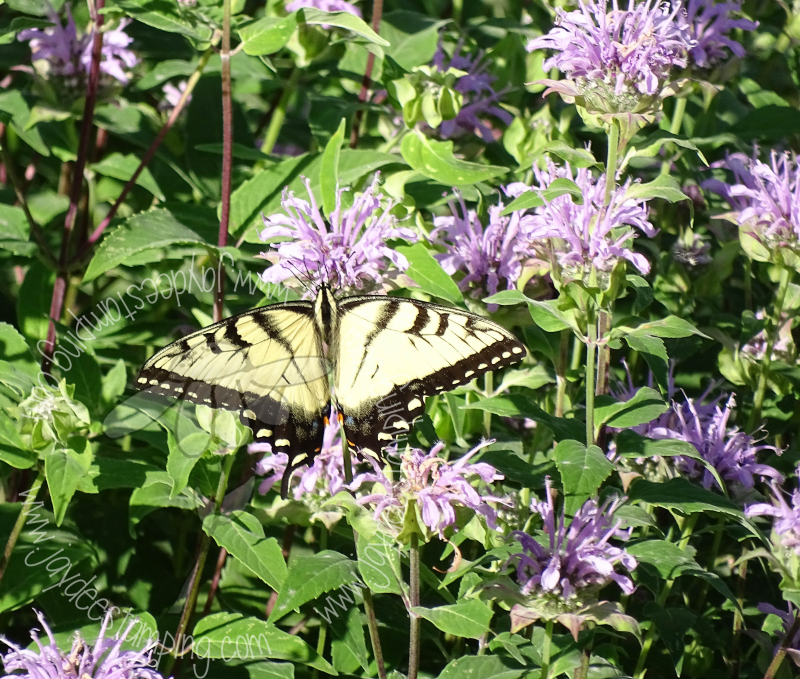Swallowtail (1 of 1)-2