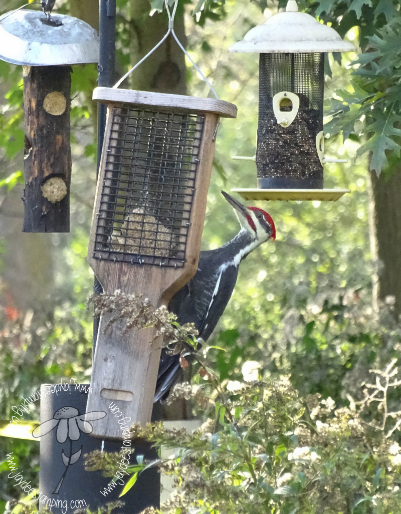 Pileated (1 of 1)-3