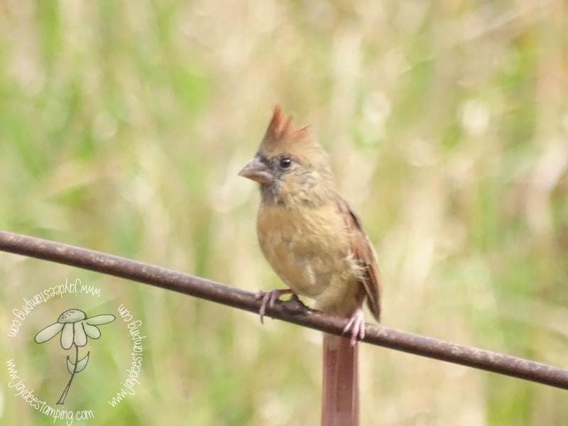 Juvenile cardinal (1 of 1)