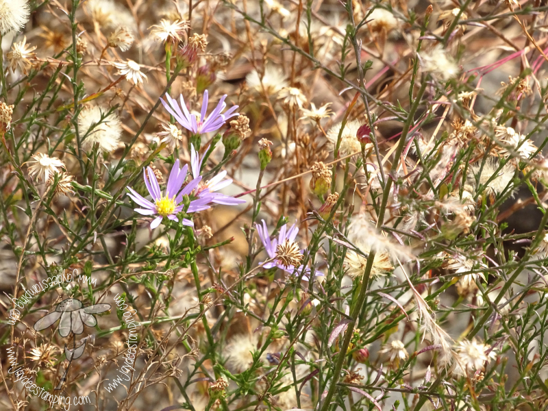 Aster (1 of 1)