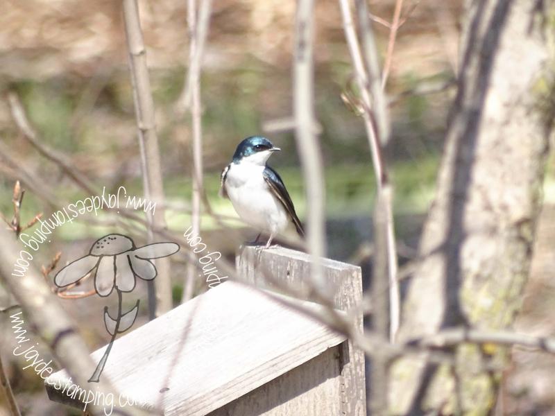 Treeswallow (1 of 1)-2