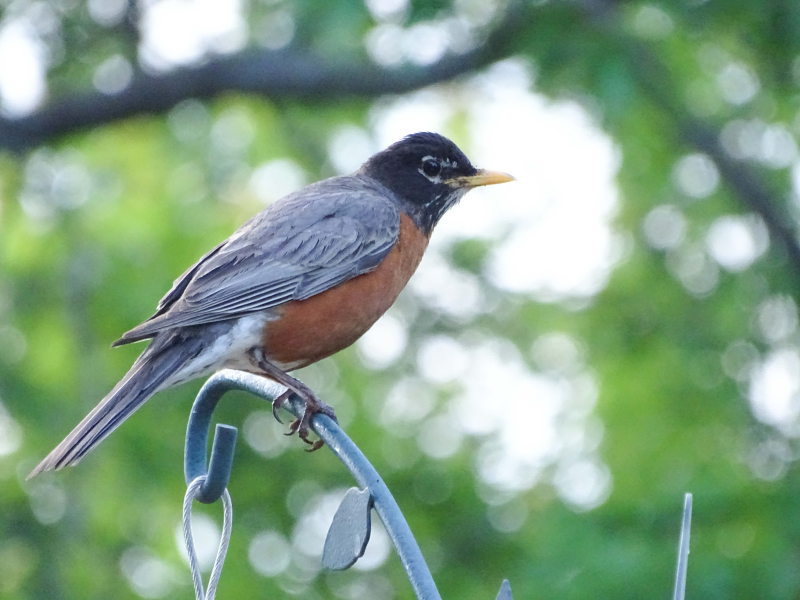 Robin (1 of 1)