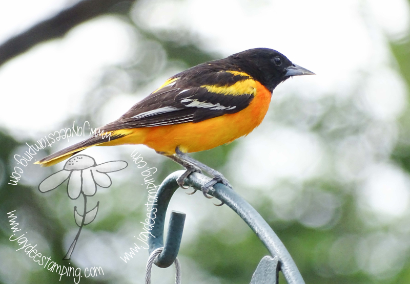 Oriole (1 of 1)-5