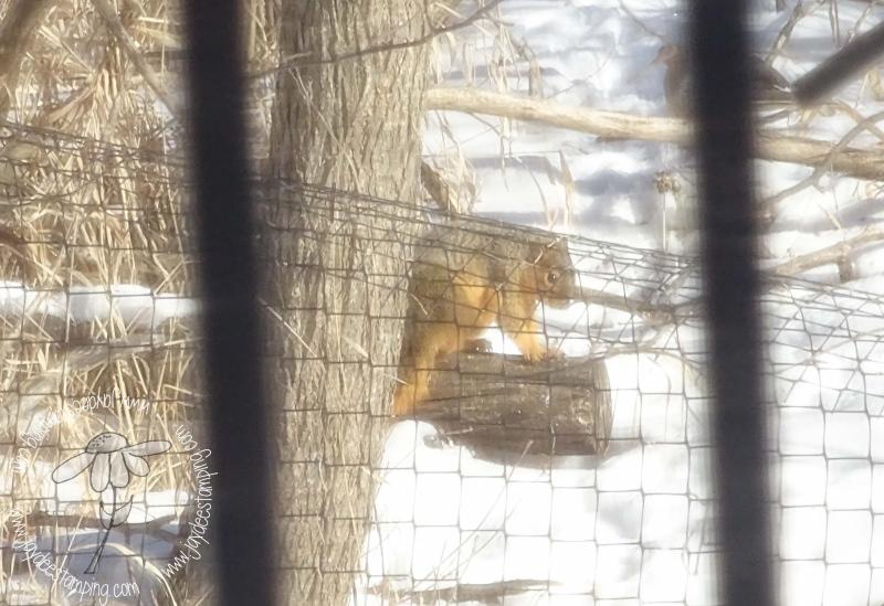 Fox Squirrel (1 of 1)