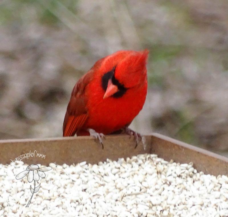 Cardinal (1 of 1)-2