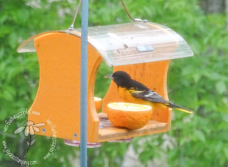 Oriole (1 of 1)
