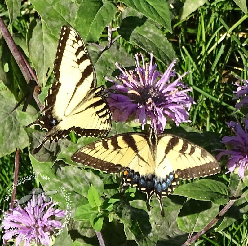 Eastern tiger swallowtails (1 of 1)