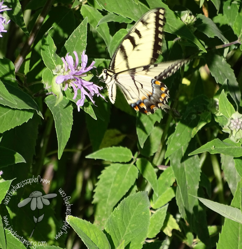 Swallowtail (1 of 1)-3