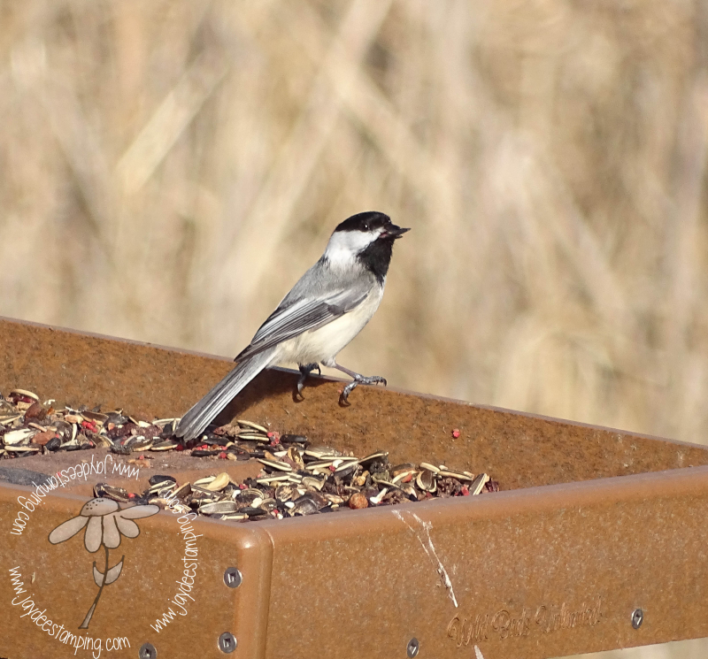 Chickadee (1 of 1)-3