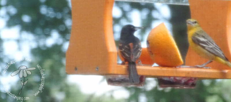 Orchard oriole (1 of 1)-2