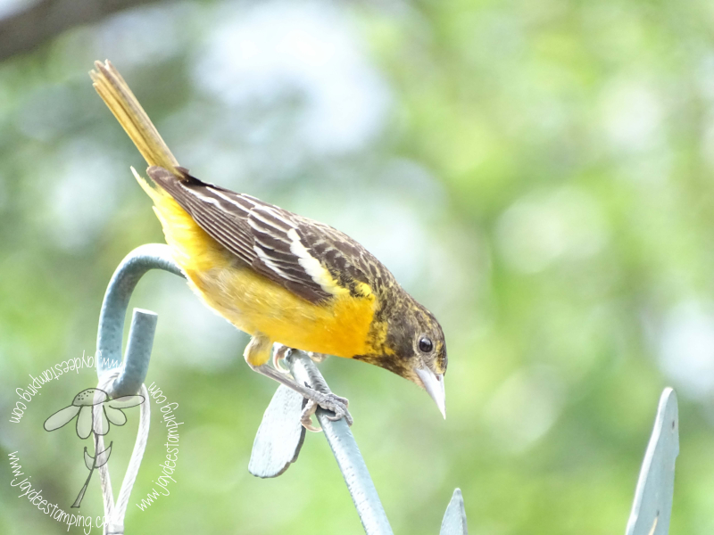 Immatureoriole (1 of 1)