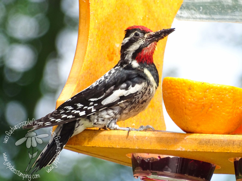 Sapsucker (1 of 1)-3